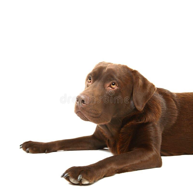 Chocolate labrador. A chocolate labrador on a white backdrop stock images