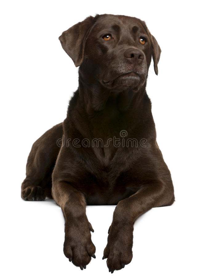 Chocolate Labrador, 4 years old, lying. In front of white background royalty free stock photography