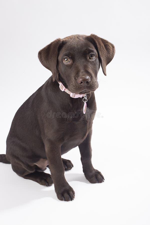 Chocolate Labrador foto de stock