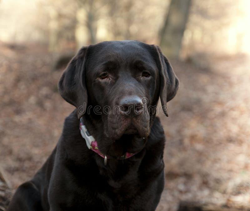 Chocolate Labrador imagens de stock royalty free