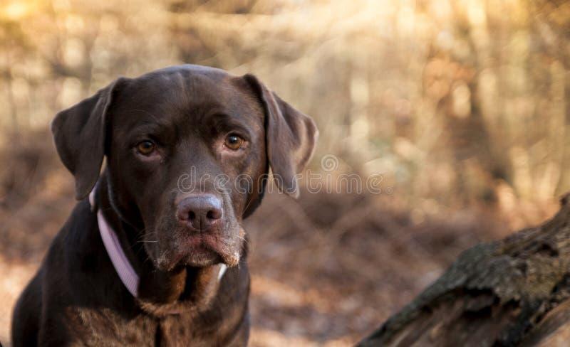 Chocolate Labrador foto de stock royalty free