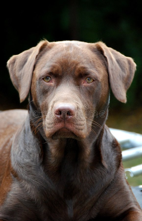 Chocolate labrador. Shot of a proud chocolate labrador looking at camera royalty free stock photography