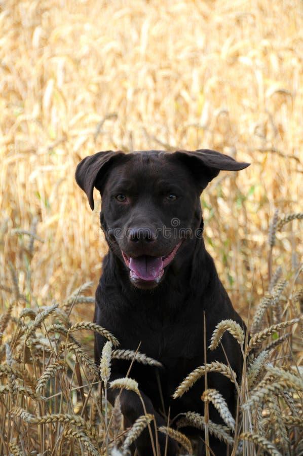 Chocolate Labrador fotos de stock royalty free