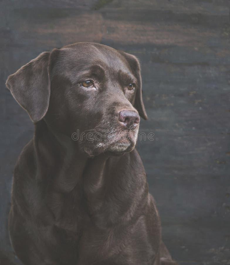 Chocolate Labrador imagem de stock