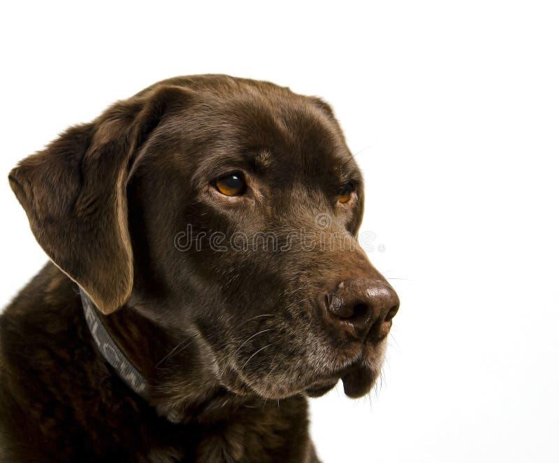 Chocolate Labrador imagens de stock