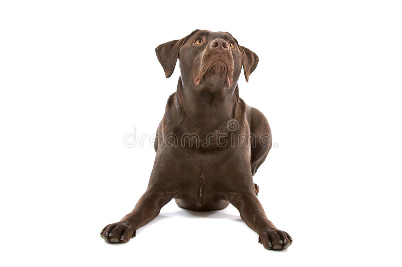 Chocolate labrador. Posing and looking up isolated over white background stock photography