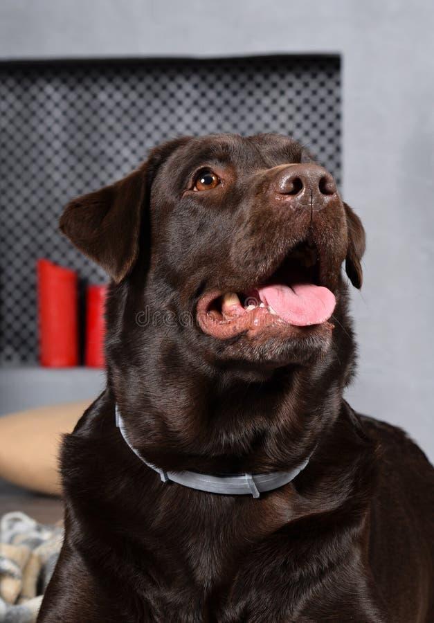 Chocolate Labrador do cão fotografia de stock