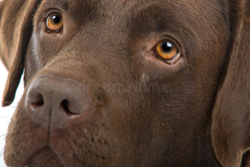 Chocolate labrador dog stock photos