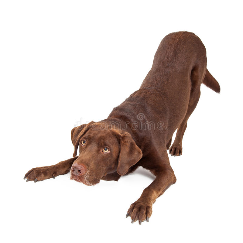 Chocolate Labrador Dog Bowing and Looking Up. Chocolate Labrador Retreiver dog in downdog looking cute and sad stock images