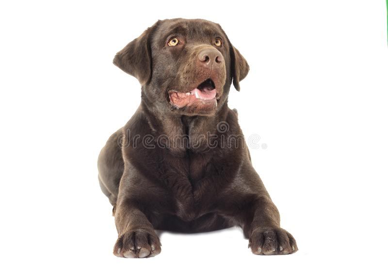Chocolate labrador dog looking. On white background isolated royalty free stock photo
