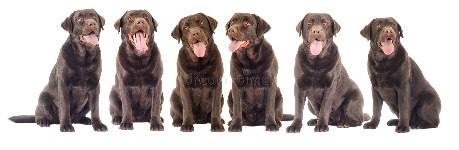Chocolate labrador dog looking. On white background isolated royalty free stock images