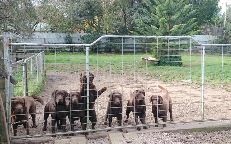 Chocolate Labrador dogs in breeder farm royalty free stock image