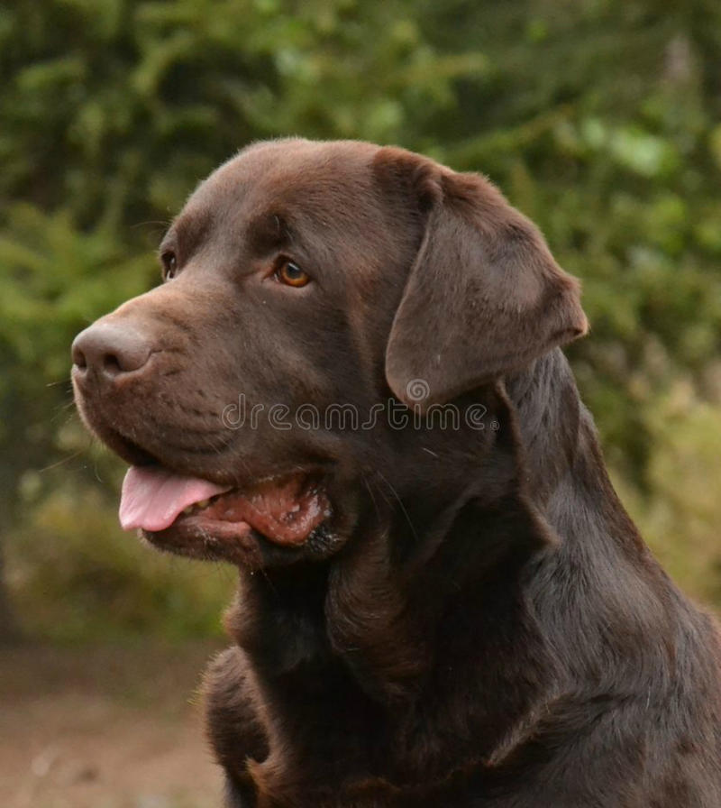 Chocolate Labrador Head. A chocolate Labrador Retriever dog head profile portrait with cute expression in the face watching other dogs in the park in sunshine royalty free stock photography