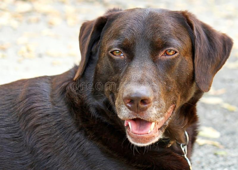 Chocolate Labrador looking sideways laying down in driveway. Gorgeous, healthy chocolate labrador retriever relaxing on home`s driveway, looking sideways and stock photo