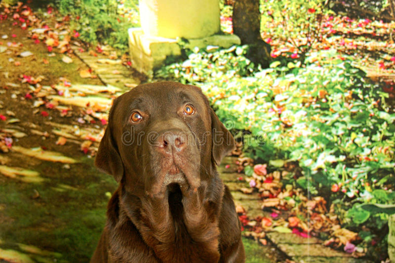 Chocolate labrador male looking up. Chocolate labrador in garden sitting and looking carefully to the camera royalty free stock photos