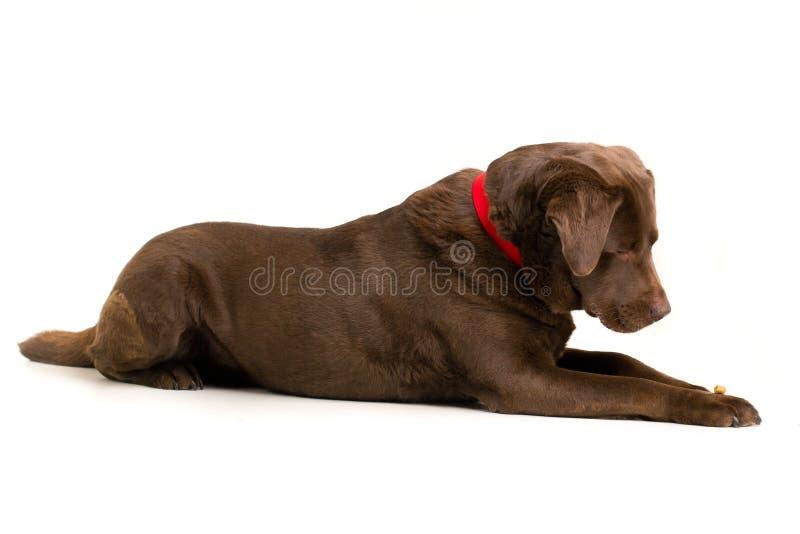 Chocolate Labrador royalty free stock photography