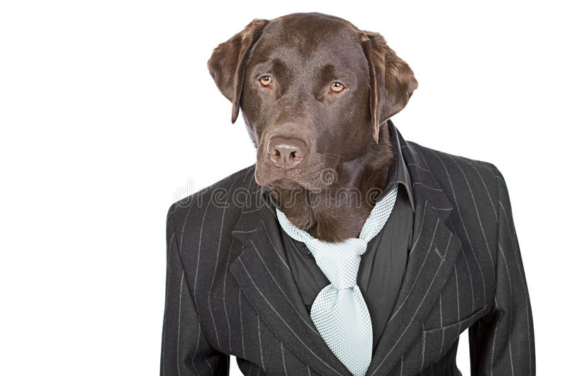 Chocolate Labrador in Pin Stripe Suit. Shot of a Chocolate Labrador in Pin Stripe Suit against White Background royalty free stock photography