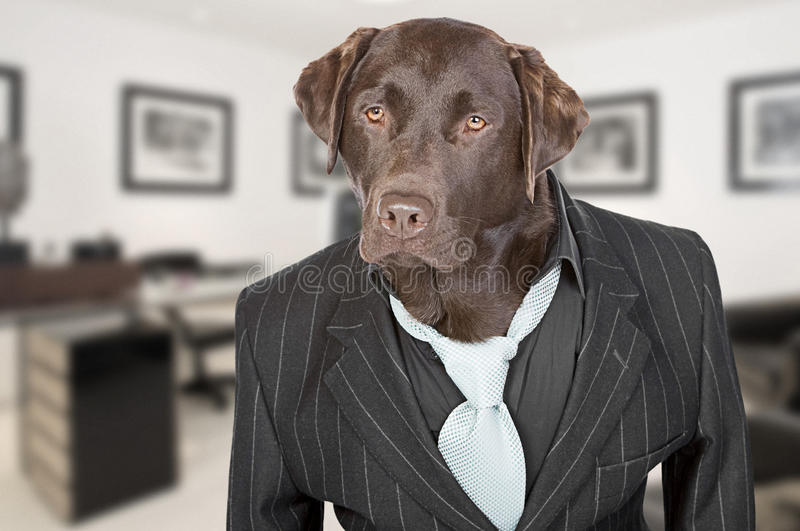 Chocolate Labrador in Pin Stripe Suit. Shot of a Chocolate Labrador in Pin Stripe Suit against Office Backdrop stock photo