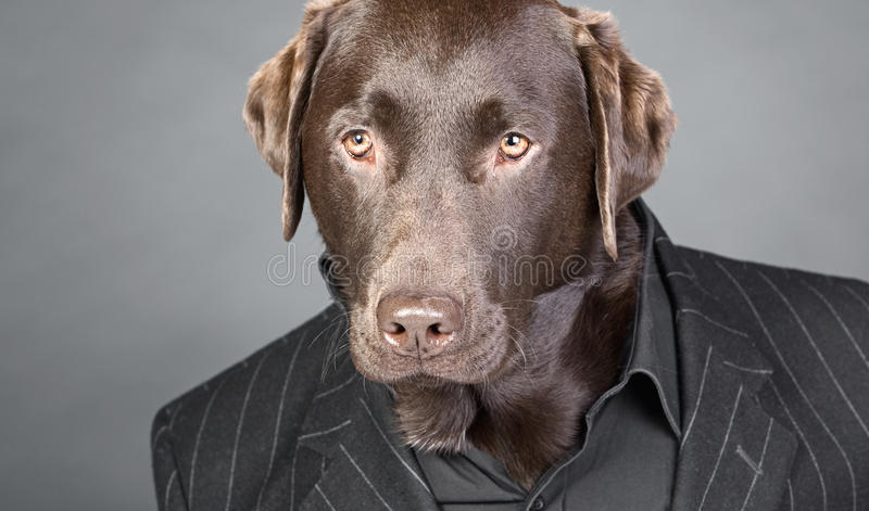 Chocolate Labrador in Pinstripe Suit. Cool Looking Chocolate Labrador in Pinstripe Suit royalty free stock images