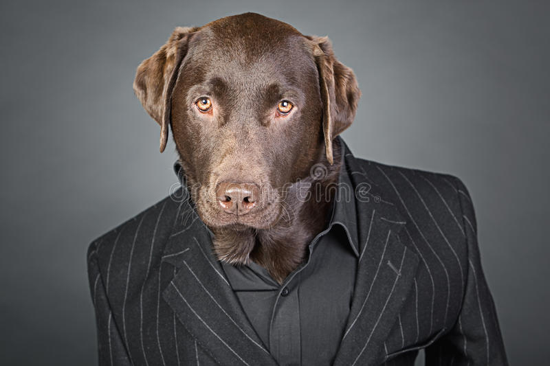 Chocolate Labrador in Pinstripe Suit. Cool Looking Chocolate Labrador in Pinstripe Suit stock image