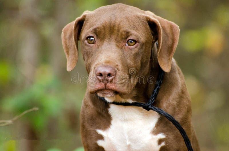 Chocolate Labrador Pitbull mixed breed puppy dog. Outdoor pet photography, humane society adoption photo, Walton County Animal Shelter, Georgia royalty free stock photos