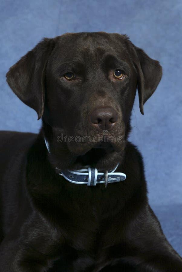 Chocolate Labrador Portrait. Formal portrait of a chocolate labrador stock photo