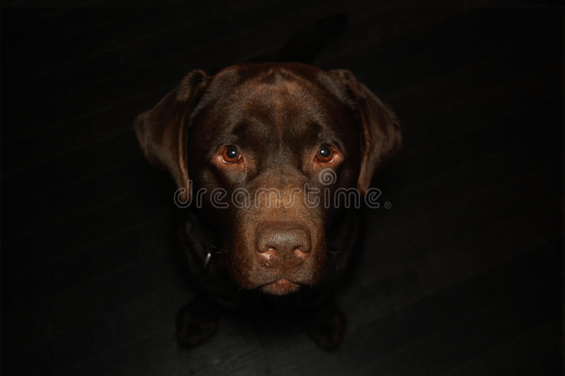 Chocolate Labrador. Posing Naturally indoors looking up into camera with dark background stock photo