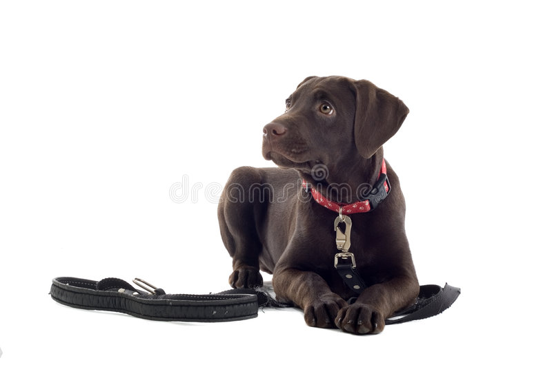 Chocolate Labrador pup. A beautiful chocolate Labrador Retriever puppy with collar and lead lay down and staring. Image isolated on white background royalty free stock photo