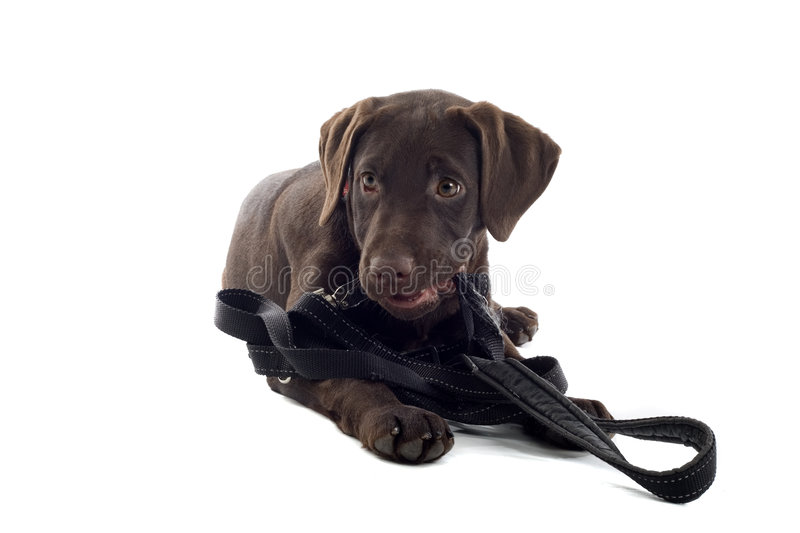 Chocolate Labrador Pup. A cute looking chocolate colored Labrador puppy, isolated on a white background stock image
