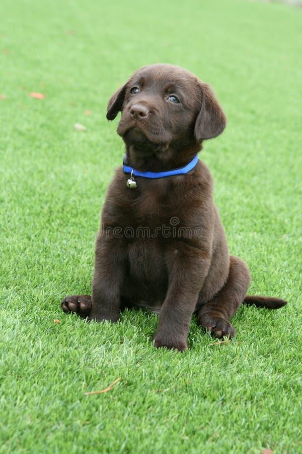 Chocolate Labrador Puppy on Lawn royalty free stock photos