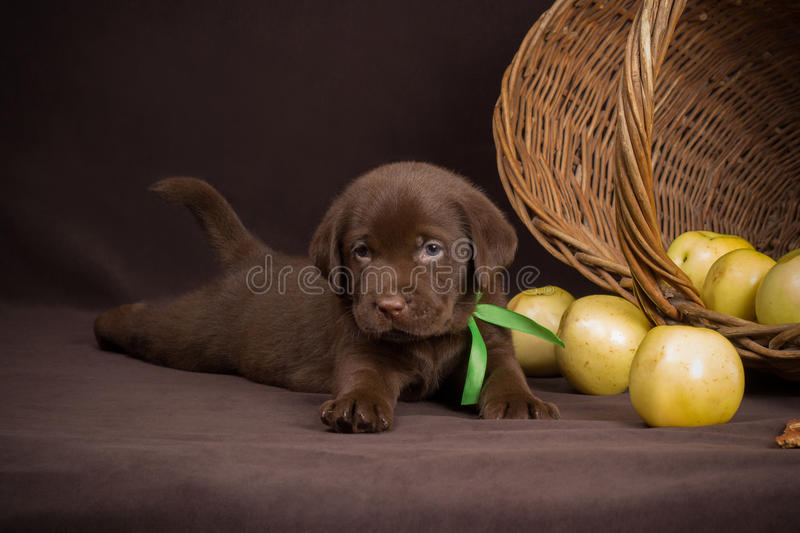 Chocolate labrador puppy lying on a brown. Background near basket of apples and looking into the camera royalty free stock image