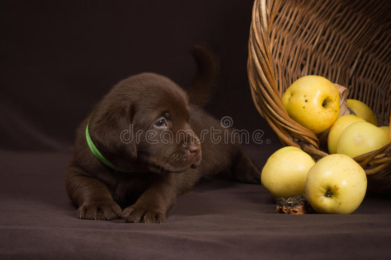 Chocolate labrador puppy lying on a brown. Background near basket of apples and looking to the right stock photography