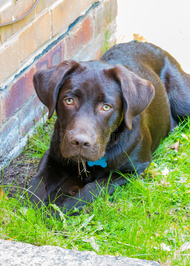 Chocolate Labrador. Puppy 8 months old royalty free stock photos