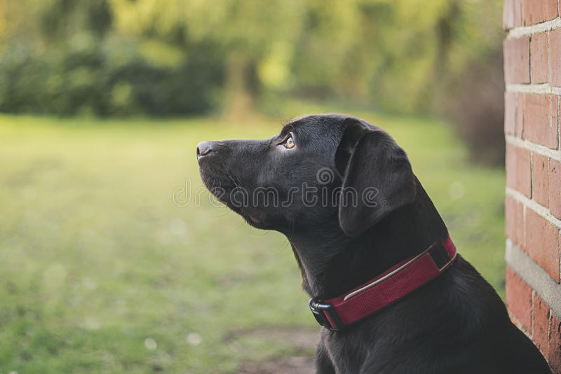 Chocolate Labrador Puppy Outdoors royalty free stock image