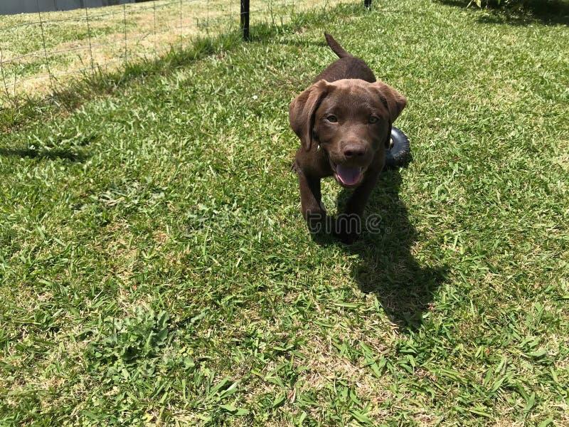 Chocolate labrador puppy playing and running towards camera stock photos