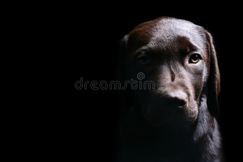 Chocolate Labrador Puppy Side Lit stock image