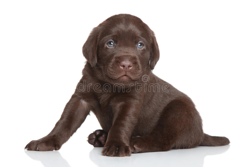 Chocolate Labrador puppy royalty free stock photos