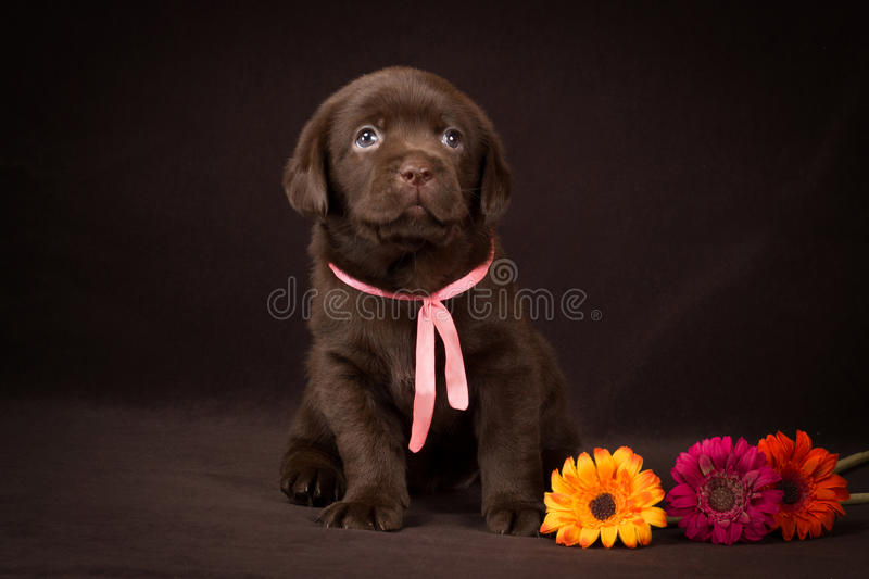 Chocolate labrador puppy sitting on a brown. Background and looking to the right royalty free stock photography