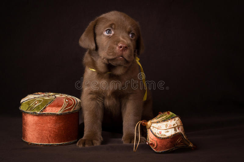 Chocolate labrador puppy sitting on a brown. Background and looking to the right royalty free stock images