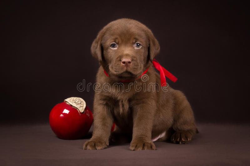 Chocolate labrador puppy sitting on a brown. Background near red apples and looking to the camera stock images