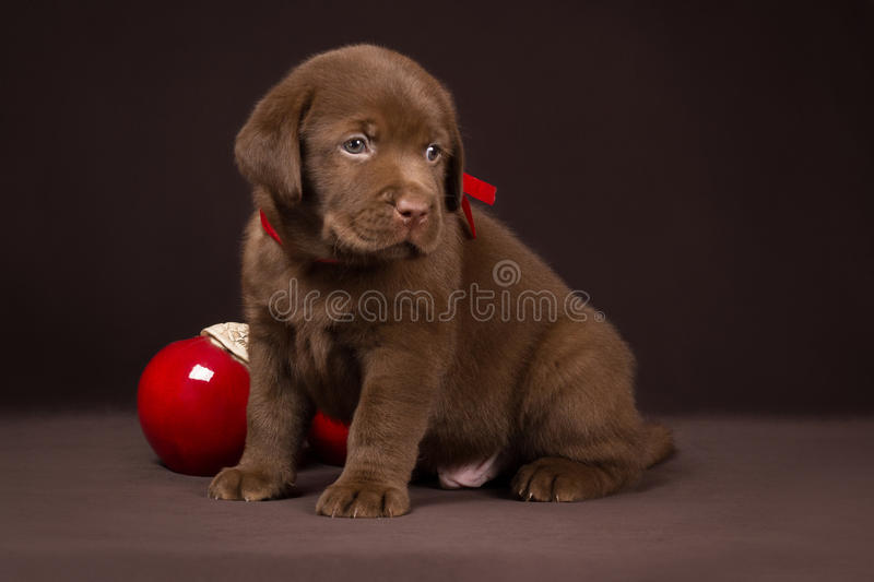 Chocolate labrador puppy sitting on a brown. Background near red apples and looking to the right stock image