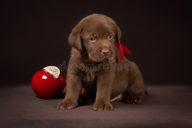 Chocolate labrador puppy sitting on a brown. Background near red apples and looking to the right royalty free stock photography