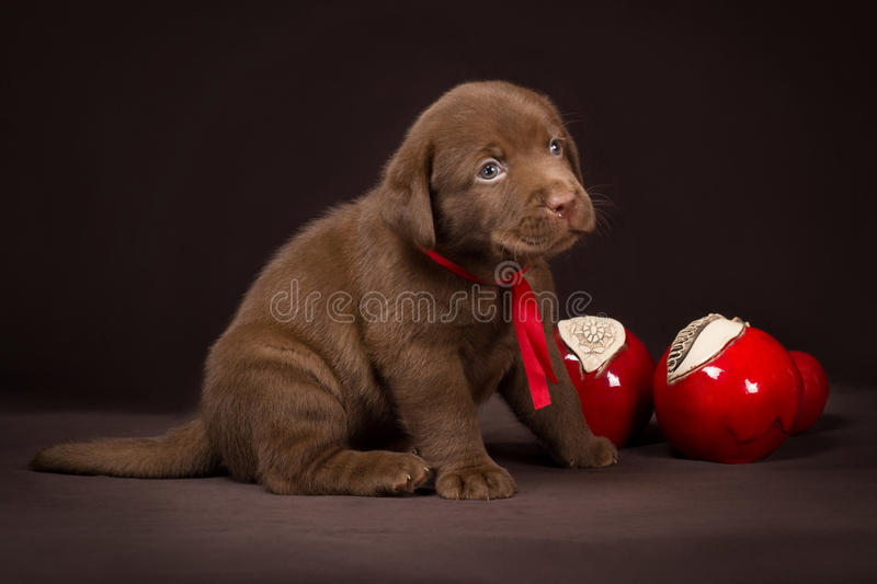 Chocolate labrador puppy sitting on a brown. Background near red apples and looking to the right royalty free stock images