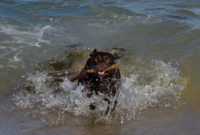 Chocolate Labrador que corre hacia fuera el océano después de recuperar un palillo imagen de archivo