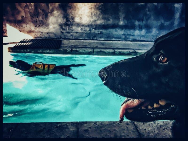 Chocolate Labrador que hace terapia de la natación mientras que el perro de pastor negro vigila fotografía de archivo libre de regalías