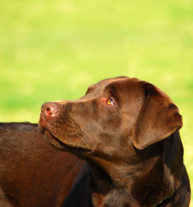 Chocolate Labrador Retriever. Outdoor portrait of a beautiful chocolate Labrador Retriever dog looking up stock photography