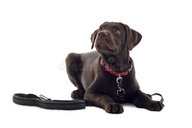 Chocolate Labrador Retriever. Close up of cute Chocolate Labrador Retriever puppy, lying on ground next to lead, isolated on white background royalty free stock photos