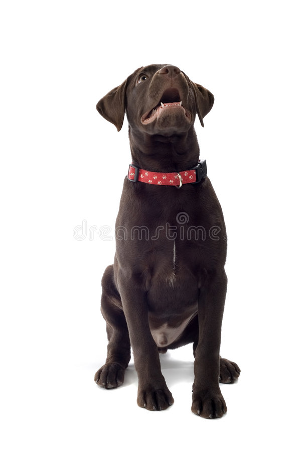 Chocolate Labrador Retriever. Puppy looking up with mouth open, isolated on white background royalty free stock image
