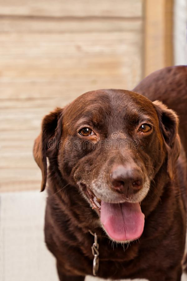 Chocolate Labrador Retriever dog with ears back and tongue out, standing on wooden deck. Chocolate Labrador Retriever dog with ears back and tongue out stock photography
