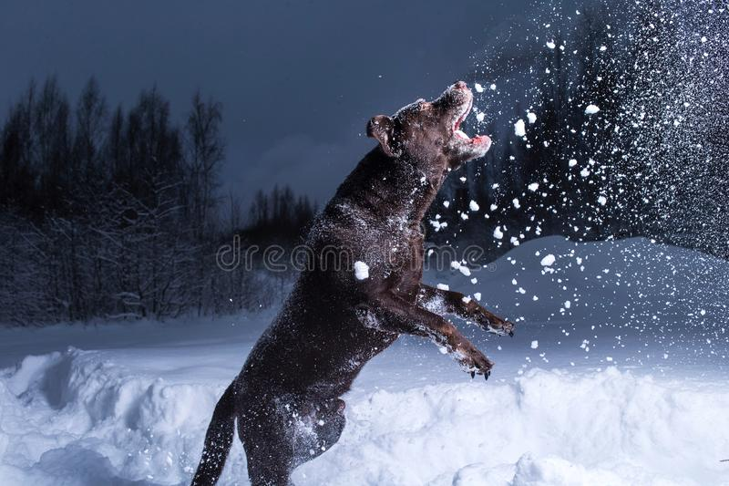 Chocolate labrador retriever dog jumping in the snow. Chocolate labrador retriever dog jumping and eating in the snow in air royalty free stock photos